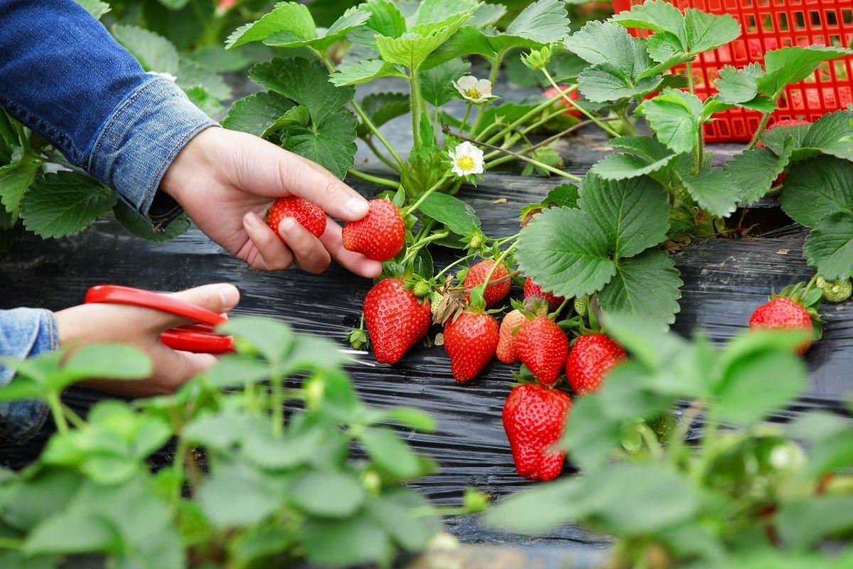 Jak pěstovat jahody | Canva